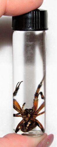 REAL ARIZONA ORB WEAVER PRESERVED SPIDER WET SPECIMEN 2in VIAL