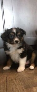 Toy Australian Shepherd Puppies.