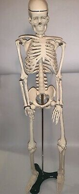 Medical Skeleton Model For Anatomy 33 Inch Wstand New In Box