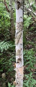 Wanted: I cut 1000s birch trees off your property, pay you cash