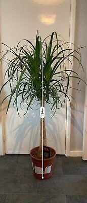 Beaucarnea Recurvata 1.25m Potted Ponytail Palm Indoor Plant