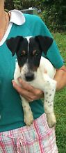 Standard pure bred fox terrier puppy for sale male Nambour Maroochydore Area Preview