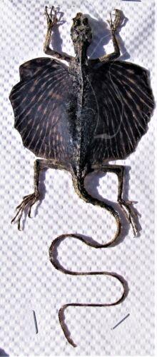 Amazing Draco Flying Dragon Lizard Draco rhytisma Female FAST FROM USA