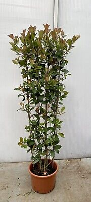 Photinia Red Robin on Frame - 20lt - 150cm Tall