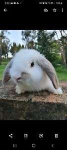 Female baby pure bred mini lop rabbit ready for a new home.