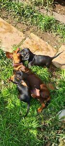 Mini dachshund black and tan puppy