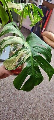 Variegated Monstera Albo * Rare Plant