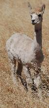 Appaloosa Suri female alpaca, yearling, wonderful future breeder Lyndoch Barossa Area Preview