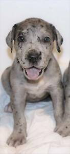 Great Dane puppies , Imported lines. Health tested. Registered Porepunkah Alpine Area Preview