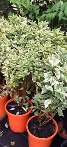 Brunsfelsia varigated plants - yesterday, today, tomorrow Stapylton Gold Coast North Preview