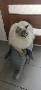 Ragdoll male cat