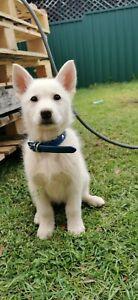 Husky x White German Shepherd   Puppies