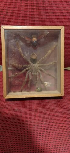 Vintage Big Brown Tarantula Spider Insecten Taxidermy Display Rare