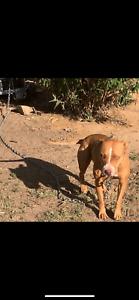 Hunting/guard dog