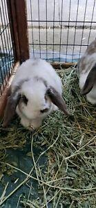 Girl baby mini lop bunny rabbit