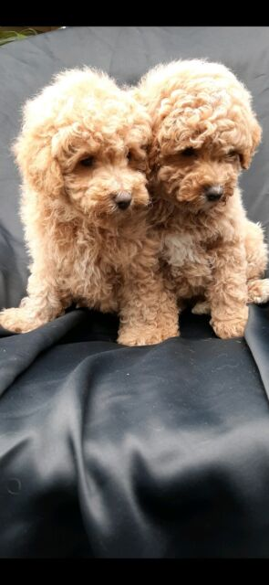 Toy Poodle X Bichon Frise Bichoodle Puppies For Sale Dogs Puppies Gumtree Australia Caboolture Area Burpengary 1256091662