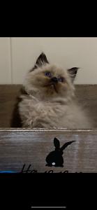 Adorable Ragdoll x Himalayan Kitten.