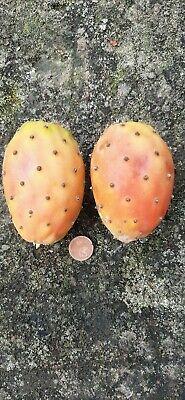 CHUMBERA - TUNERA nopal Opuntia (frutos comestibles) 60 semillas frescas