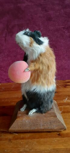 Guinea Pig Taxidermy Standing Animal Mount - CA$300.00