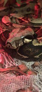5 foot boa constrictor