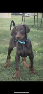 CKC registered Male Purebred Doberman pup
