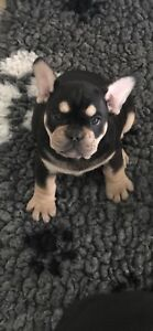 French Bulldog Breeding Registration