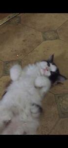 Ragdoll cross kitten!