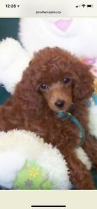 Looking for a toy poodle