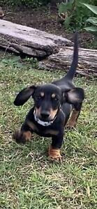 Mini Dachshund purebred desexed male puppy
