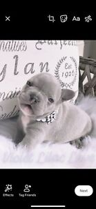 Lilac & Chocolate CKC Registered French Bulldog Puppies