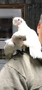 Couple de perroquet cacatoès Goffin