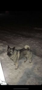 Missing Norwegian elkhound