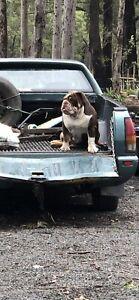 Pedigree male British bulldog