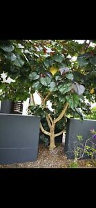 Free tree plant tilapariti