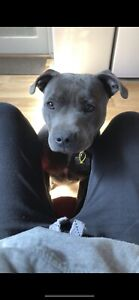 Looking for a male blue English staffy to breed with