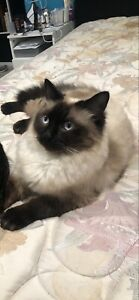 Wanted: Rag Doll Cat 2 years old