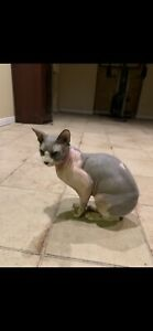 Sphynx | Adopt Cats & Kittens Locally in Ontario | Kijiji Classifieds
