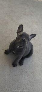 Purebred Blue French Bulldog Puppy.