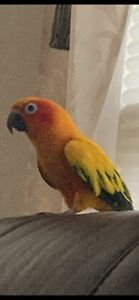Sun Conure Male Tame