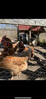 3 - 1yr old hens and Coop