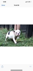 French bulldog pups $2500