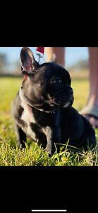 French bulldog female pup black /white