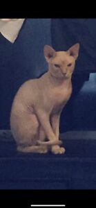 Male Sphynx entire