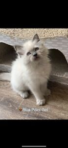 Purebred Ragdoll Kittens...❤️ Available Now!