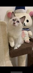 Three purebred ragdoll kittens available now to good home