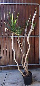 Plants- draceana Beechboro Swan Area Preview
