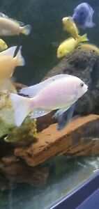 African cichlid clearance sale