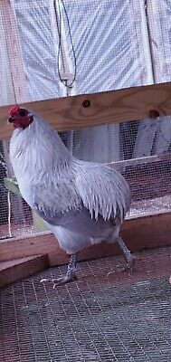 12 Araucana Lf Hatching Eggs. Rare Breed Chickens. Ga-npip