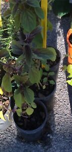 Thai basil, bee attracting plants Stapylton Gold Coast North Preview