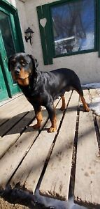 1.5 Year old Purebred Rottweiler for rehoming
